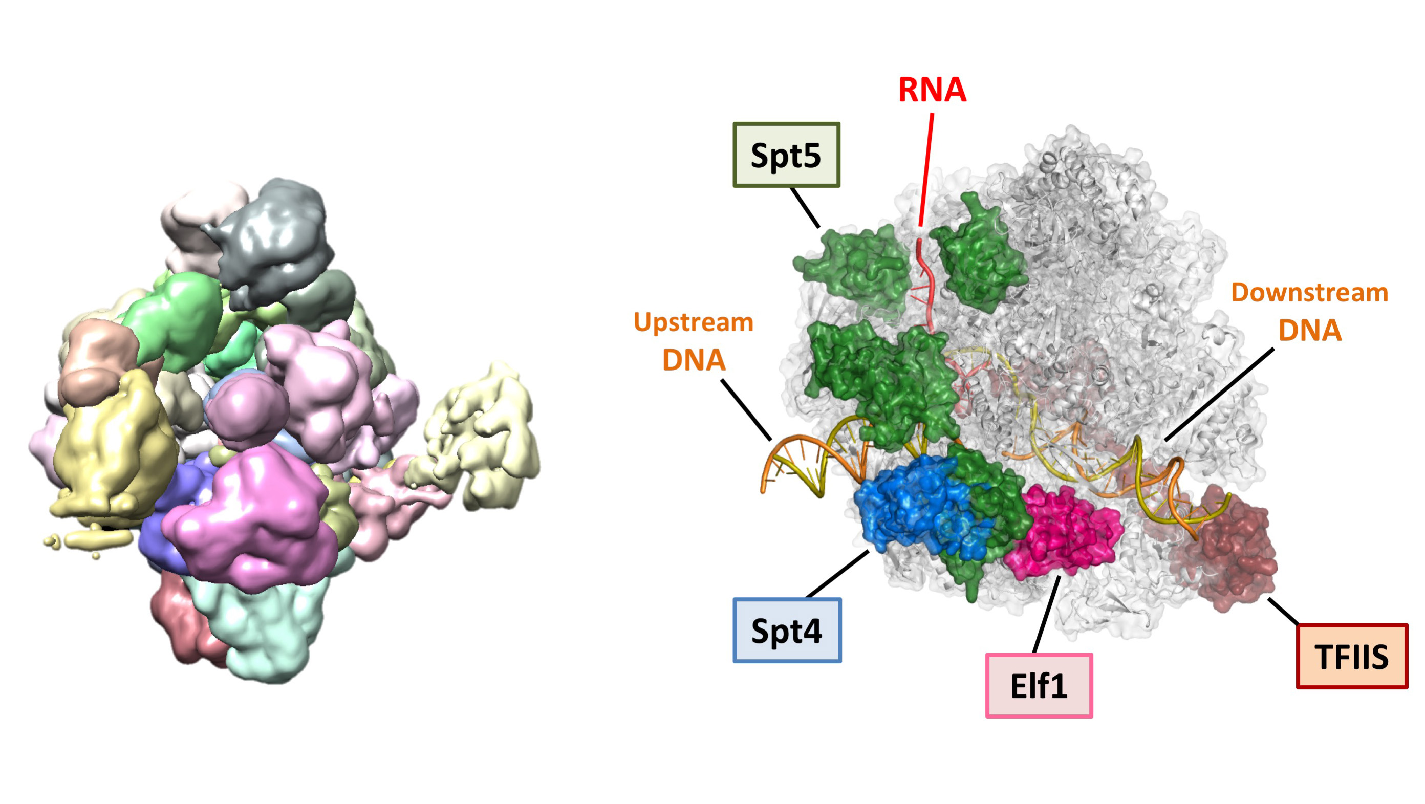Cryo-EM density map of the RNA polymerase II elongation complex (left).  Structure of the RNA polymerase II elongation complex bound with Spt4, Spt5, Elf1, and TFIIS, revealed by cryo-EM and X-ray crystallography (right).